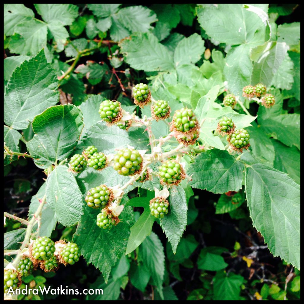 green blackberries on way from nyon to gland, switzerland